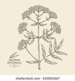 Background with valerian officinalis: valeriana flower and branch. Cosmetic and medical plant. Vector hand drawn illustration