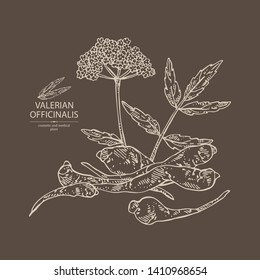 Background with valerian officinalis: valeriana flower and root. Cosmetic and medical plant. Vector hand drawn illustration