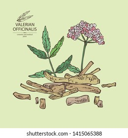 Background with valerian officinalis: valeriana flower and roott. Cosmetic and medical plant. Vector hand drawn illustration