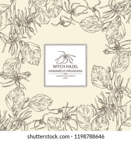Background with witch hazel: witch hazel flowering branch, leaves, and hamamelis virginiana flowers. Hamamelis virginiana.Cosmetic and medical plant. Vector hand drawn illustration