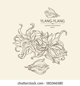 Background with ylang-ylang. Cosmetics and medical plant. hand drawn