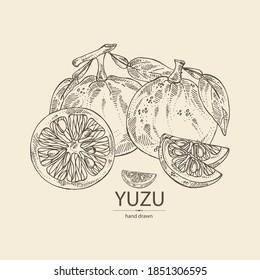 Background with yuzu: fruts, leaves and yuzu slice. Citrus junos. Vector hand drawn illustration