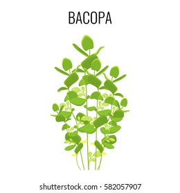 Bacopa ayurvedic aquatic plant isolated on white background. Commonly known as Waterhyssop or Water Hyssop. Realistic vector illustration of evergreen herb
