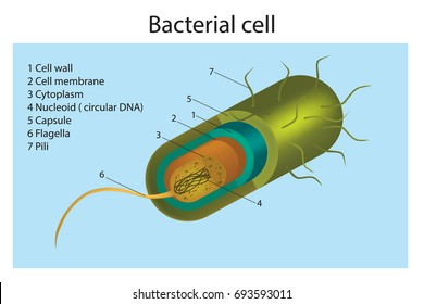 Bacteria – Cell Structure. Cell structure of a gram positive bacterium