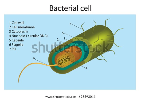 Bacteria Cell Structure Cell Structure Gram Stock Vector (Royalty