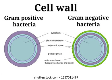 Bacteria cell wall  illustration. Gram positive and gram negative cell wall differents.  Isolated on white