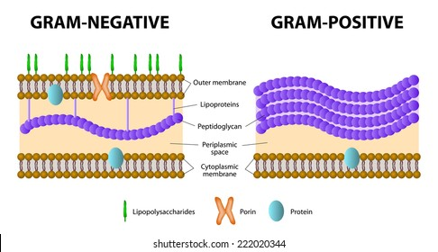 Gram negative bacilli images stock photos vectors shutterstock difference of gram positive from gram negative bacterial ccuart Gallery