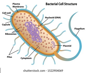 Bacterial cell structures labeled on a bacillus cell with nucleoid DNA and ribosomes. External structures include the capsule, pili, and flagellum.