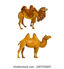 Bactrian camel during and after molting. Vector illustration isolated on white background