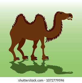 A Bactrian Camel eager to carry luggage