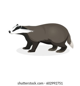 Badger on short legs in realistic style isolated on white background. Forest animal with black and whitey coat. Vector illustration of brock species of mammal