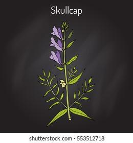 Baikal skullcap (scutellaria baicalensis) - medicinal plant. Hand drawn botanical vector illustration