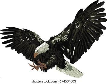 Bald eagle - Detailed vector illustration