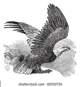 Bald Eagle (Haliaeetus leucocephalus), vintage engraved illustration. Bald eagle in flight. Trousset encyclopedia (1886 - 1891).