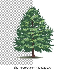 Bald-cypress tree. Isolated vector tree on white background.