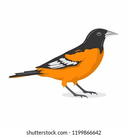 Baltimore Oriole Bird Vector Illustration