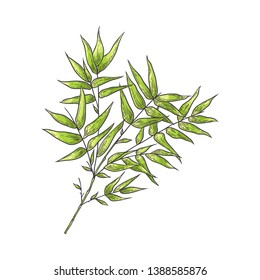Bamboo branch with green leaves in sketch style isolated on white background. Hand drawn vector illustration of traditional asian bambu zen plant for natural floral design.