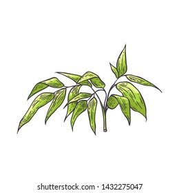Bamboo branch with green leaves in sketch style isolated on white background - hand drawn vector illustration of traditional asian bambu zen plant for natural floral design.