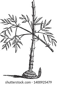 Bamboo is a genus of grasses, which most of the species attain a great size, some of them 20 or 30 feet, some 70 or 100 feet in height. It is found in tropical, vintage line drawing or engraving