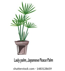 Bamboo Palm(Rhapis excelsa),Lady palm, Japanese Peace Palm are by far one of the easier plants to care and in House Plants,Plants for Home Decoration.vector illustration Indoor or office garden