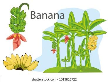 banana  food  thai