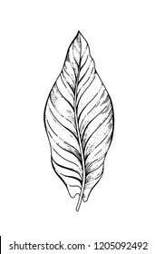 Banana fruit tropical leaf hand drawn sketch. Exotic palm tree icon. Realistic vector illustration isolated on white background. Black ink line handdrawn art. For temporary tattoo, t shirt print