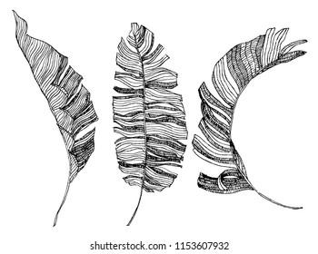 banana leaves illustration. tropical art. hand drawn illustration.