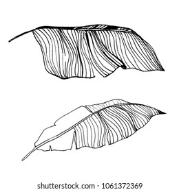 banana leaves isolated on white. Vector illustration. botanical art.hand drawn illustration. ink.