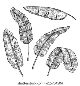 Banana leaves set. Five sketches of tropical leaves for your design.