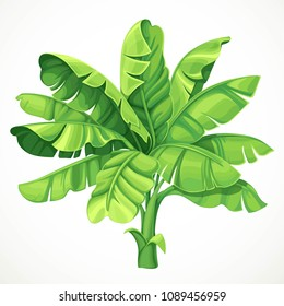 Banana palm with large leaves isolated on white background