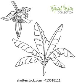 Banana palm. Tropical plant. Vector illustration. Coloring book for adult and older children. Coloring page. Outline drawing.