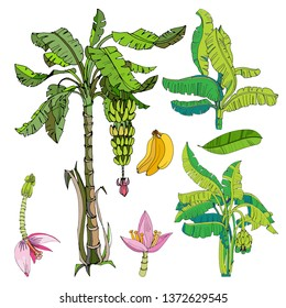 banana set. banana tree, leaves, fruit and flower. banana collection - botanical illustration.
