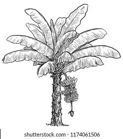 Banana tree illustration, drawing, engraving, ink, line art, vector