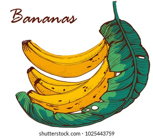 bananas, hand drawing, banana leaf vector illustration , on white background