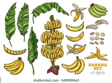 Bananas tree and tropical fruit vector set. Palms foliage and leaves. Sketch hand drawn collection