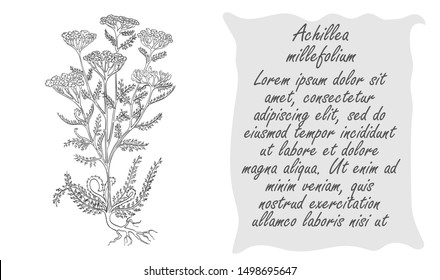 Banner with Black Bush of Common Yarrow. Square Substrate with Place for Description. Herbal with Latin Name . Sketch Style Vector. Herbal Medicine and Food Industry Component.
