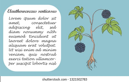 Banner with Colored Bush of Eleuthero. Square Substrate with Place for Description. Herbal with Latin Name Eleutherococcus Senticosus. Component for Traditional Herbal Medicine.