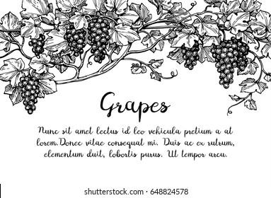 Banner template. Hand drawn vector illustration of grapes. Vine sketch.