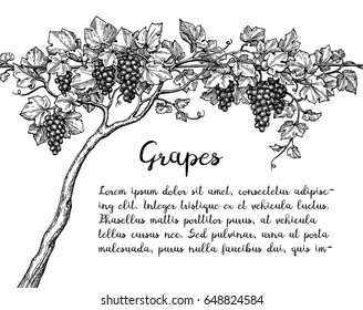 Banner template. Hand drawn vector illustration of grapes. Vine sketch.