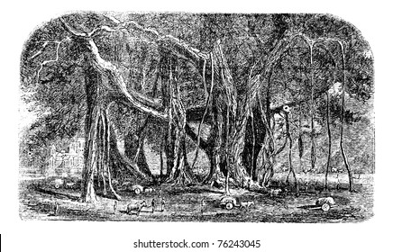 Banyan or Ficus benghalensis, vintage engraving. Old engraved illustration of a large Banyan tree showing aerial roots.