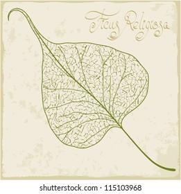Banyan leaf skeleton. Vector.
