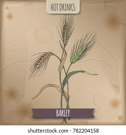 Barley aka Hordeum vulgare hand drawn color sketch. Used as coffee substitute. Hot drinks collection. Great for cafe, bars, tea ads.