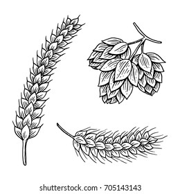 Barley and wheat, malt and hops. Beer of oktoberfest. engraved in ink hand drawn in old sketch and vintage style for web or pub menu. design element isolated on white background.
