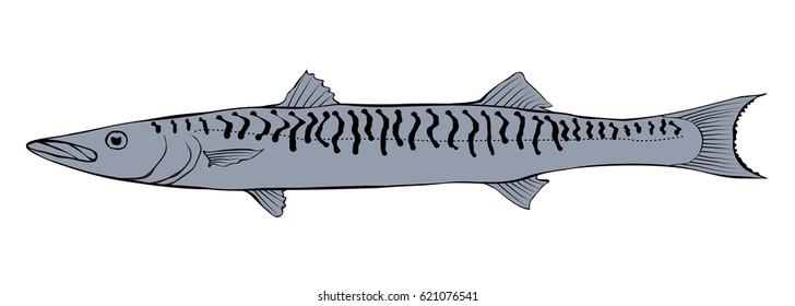 Barracuda fish illustration