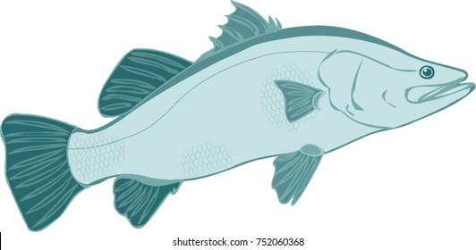 Barramundi fish illustration