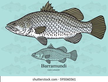 Barramundi. Vector illustration with refined details and optimized stroke that allows the image to be used in small sizes (in packaging design, decoration, educational graphics, etc.)