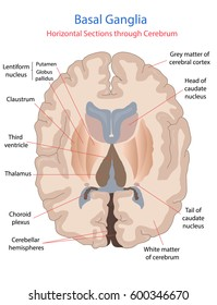 Basal ganglia, Horizontal cross sections through cerebrum