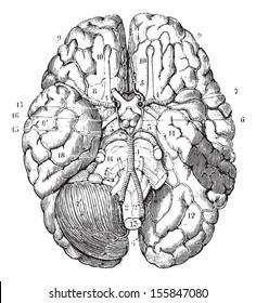 Base of the brain, vintage engraved illustration. Usual Medicine Dictionary by Dr Labarthe - 1885.