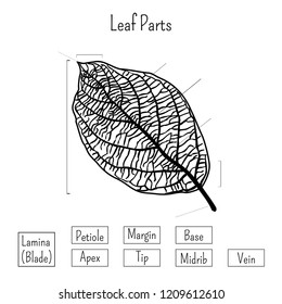 Basic leaf parts worksheet isolated on white background.  Plants morphology, education for kids. Ecology, natural science. Cartoon style vector illustration. Outline black and white image.