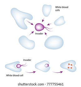 Basic mechanism of the immune system. White blood cell eating bacteria, vector medical illustration
